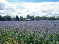 A field of borage beside Willow Grove 2016