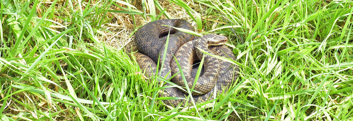 adders in south woodham ferrers fen